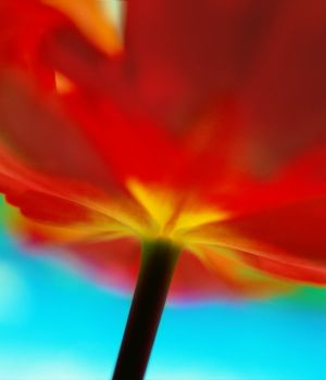Tulip, close up by