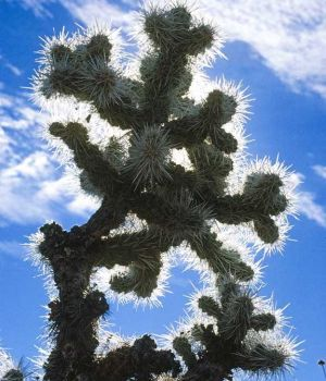 Blue Cactus by