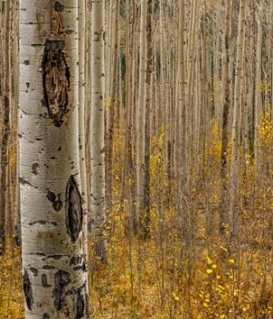Fall in the Birch Forest by