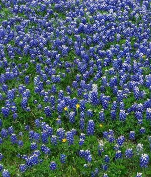 Texas Blue Bonnets by