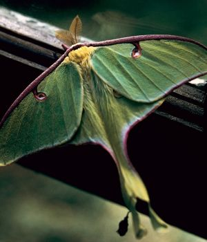 Luna Moth by