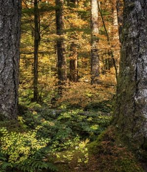 Golden forest by