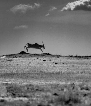 Jumping Antelope by
