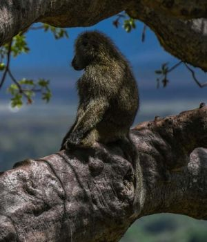 Baboon Watch by