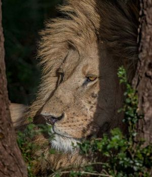 Lion in shade by