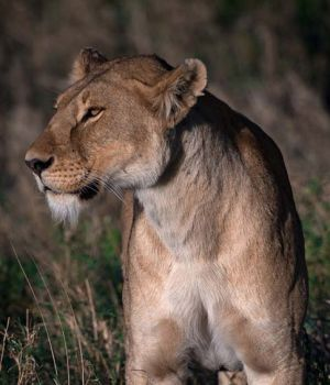 Regal Lioness by